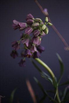 . garden grow, fritillariapersica, color, purpl, oliv, fritillaria persica, sarah ryhanen, flower, plum