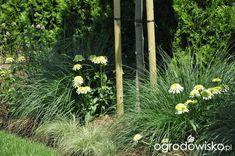 Lawendowy zawrót głowy - strona 1382 - Forum ogrodnicze - Ogrodowisko