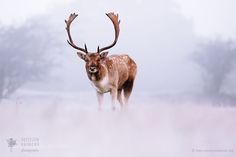 Out of the White - Fallow Deer on a wintery mornin by RoeselienRaimond