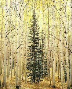 Christopher Burkett: Spruce and Bright Aspen Forest