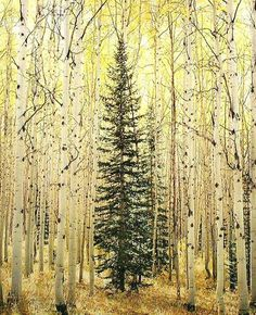 Christopher Burkett: Spruce and Bright Aspen Forest