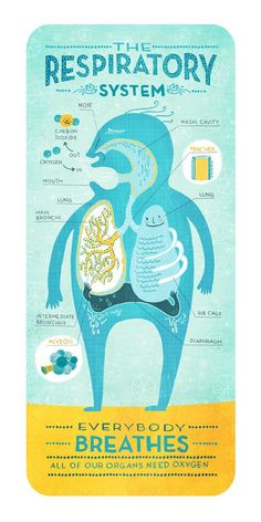 Educational infographic & Data The Respiratory System: Anatomy Print. Image Description The Respiratory System: Anatomy Print Science Biology, Teaching Science, Life Science, Medical Science, Medical Coding, Science Education, Physical Education, Respiratory System Anatomy, Respiratory Therapy