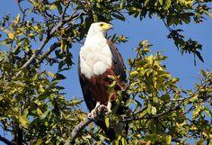African Fish Eagle - photo taken by J. Chobe National Park, National Parks, Bird Species, Bald Eagle, Woodland, Safari, Photographs, Wildlife, Elephant