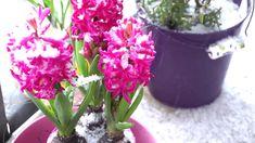 Mein Balkon über den Winter mit Olivenbäumchen und anderen Topfpflanzen Videos, Plants, Beauty, Fashion Styles, Olive Tree, Potted Plants, Winter Time, Decorating Ideas, Nature