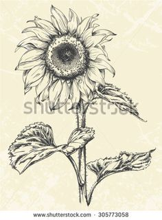 Hand drawn realistic Vintage sunflower pen and ink illustration isolated - stock vector