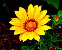 Gazania, Kentlands, Imagination IMG_7606A Photograph by Roy Kelley Roy and Dolores Kelley Photographs