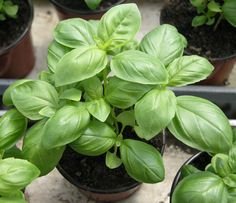 Cheap basil seeds, Buy Quality sweet basil seeds directly from China vegetable seeds Suppliers: Sweet Basil Seed * Ocimum Basilicum * Common Basil * Herb Basil Sweet Green * Garden * Flower * Vegetable Seed * Basil Health Benefits, Growing Tomatoes Indoors, Grow Tomatoes, Growing Raspberries, Comment Planter, Kitchen Herbs, Herb Seeds, Medicinal Plants, Planting Seeds