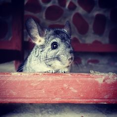 Lucas - my sweet Chinchilla