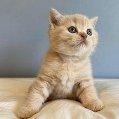 British shorthair kitten, color cream. British Shorthair Kittens, Cattery, Brave, Cats, Animals, Cream, Color, Creme Caramel, Gatos