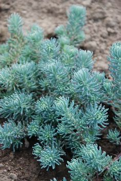 """""""Sedum Reflexum (Blue Spruce)"""". Ground cover Sedum with chalky blue needle like foliage, clusters of bright yellow flowers bloom spring, slow spreading habit, combine with Angelina & Voodoo for colorful spring patio planters."""