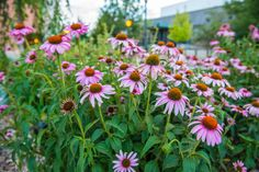 A beautiful garden of Cone Flowers in front of the Hampton Inn on Main Street.  One of the prettiest small city downtown areas!