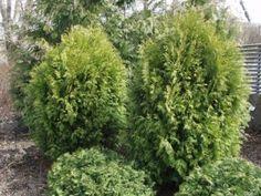 Thuja occidentalis 'Globosa' - pallotuija