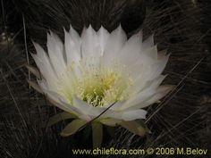 Echinopsis chiloensis ssp. littoralis - quisco costero