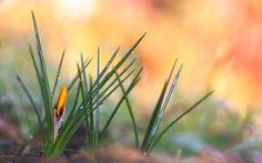 Обои Роза, Крокус, желтый, весна, капли