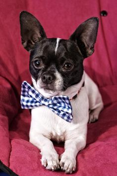 Patches - Black Sheep Photography Wisconsin Chihuahua Rescue