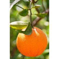 Organic Valencia oranges - my favorite kind of orange.