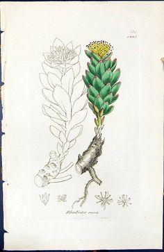 红景天Rhodiola rosea