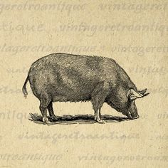 Pig Graphic Image Download Illustration Printable Digital Antique Clip Art. Vintage printable graphic for fabric transfers, making prints, pillows, tote bags, tea towels, and more great uses. Real antique art. Antique artwork. This graphic is high quality, high resolution at 8½ x 11 inches. Transparent background version included with every digital image.