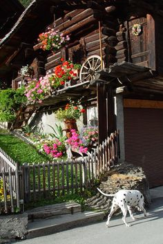 Wherever there is a spot for flowers, you will find some!! #Mürren, #Switzerland #Schweiz