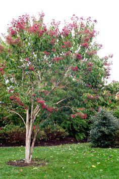 Seven sons flower trees shrubs must get list for Tall flowering shrubs