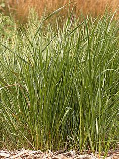 Sweet Grass - Get detailed growing information on this plant and hundreds more in BHG's Plant Encyclopedia. Growing Grass From Seed, Drought Tolerant Grass, Dog Yard, Herb Seeds, Grass Seed, Green Lawn, Medicinal Plants, Herb Garden, Terrace Garden