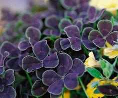 terrific perennial in the clover family. Atropurpurea...Pretty