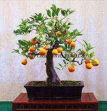 Grátis frete 50 unidades/pacote Mini vasos comestíveis laranja Bonsai sementes perfumado & frutas ornamentais fácil crescer laranja sementes de árvores(China (Mainland))