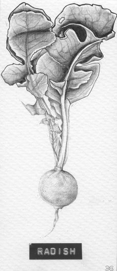 Title: 'Radish' Client: SLA Type: drawing / tattoo design / illustration Year: 2013 #foodart #kitchenart