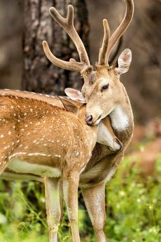 Deer Love Photo by Nimit Virdi - National Geographic Your shot - Animals Pictures Forest Animals, Nature Animals, Animals And Pets, Strange Animals, Wildlife Nature, Beautiful Creatures, Animals Beautiful, Cute Baby Animals, Funny Animals
