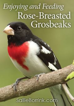 Bird feeding is a fantastic way to do nature study with your children. Rose-breasted grosbeaks are one of my favorite birds for so many reasons. Here are ways that we enjoy and feed birds in our yard.