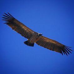 Vulture in Serengeti #vulture #vultures #africa #afrika #Tanzania #serengeti #serengetipark by per.elmik @enthuseafrika