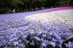 秩父 芝桜 - Yahoo!検索(画像)