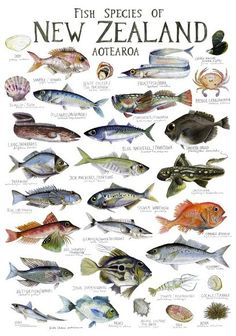 Check out Fish species of New Zealand Poster at New Zealand Fine Prints - Maikas room New Zealand Art, New Zealand Travel, New Zealand Food, New Zealand Wildlife, Fish Chart, Fauna Marina, Nz Art, Fish Drawings, Types Of Fish