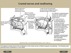 Cranial Nerves and Swallowing