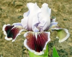 SDB Iris germanica Puddy Tat (Black, 2002)                              …