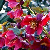 Helleborus orientalis 'Red Lady' PLANT TYPE  Perennial ZONES  6a-10b SIZE  H:2' W:2' GROWING CONDITIONS  SOIL NEEDS: Well-Drained, Rich  WATER NEEDS: Even Moisture, Regular, Drought Tolerant  SUN EXPOSURE: Part Sun, Dappled Shade, Part Shade, Shade  FEATURES  FLOWERS: Red, Purple / Violet  FOLIAGE: Evergreen  FLOWERING TIME: Spring, Winter
