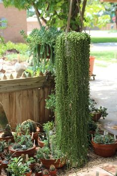 string of pearls succulent -