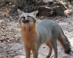 Grey Fox Habitat | Where Do Grey Foxes Live?
