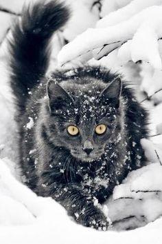 Beautiful black cat piercing through the snow Crazy Cat Lady, Crazy Cats, Big Cats, Cool Cats, Cats And Kittens, Tabby Cats, Pretty Cats, Beautiful Cats, Animals Beautiful