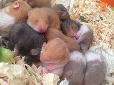 baby syrian hamsters only 7 left! | Walsall, West Midlands ...