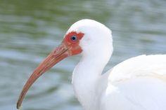 American White Ibis Eudocimus albus - Google Search