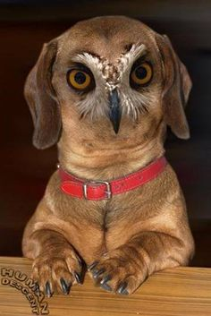 Mix an owl and a dachshund
