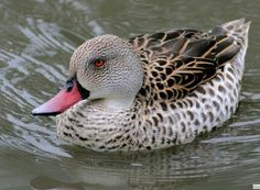Cape Teal, Cape of Good Hope