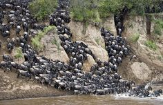 The Great Migration - one of the natural wonders of the world