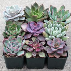 A selection of 9 beautiful Echeveria succulents, each plant 2.5in to 3in in diameter. Shop online at Mountain Crest Gardens. Free Shipping on orders over $75.