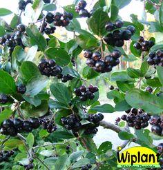 Aronia melanocarpa, Svartaronia. Snygg växt, svarta nyttiga bär. Höjd: 2-3 m.
