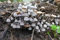 Small toadstools that sprouted from a decaying Grevillea stump after heavy rain by tanetahi, via Flickr