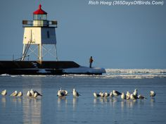 https://flic.kr/p/ndpace | 086-Birds-365-Two-Harbors-Light-Gulls-2 think they have cold feet ? #MSPDestination