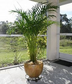 Areca Palm (Chrysalidocarpus lutescens), one of three must-have air purifying plants