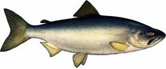 Красная книга Республики Саха (Якутия). Рыба